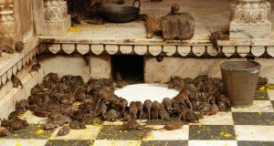 Karni Mata Temple: It's actually considered a blessing to eat food that has been nibbled on by a rat.